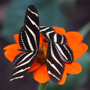 Two Butterflies on Red Flower