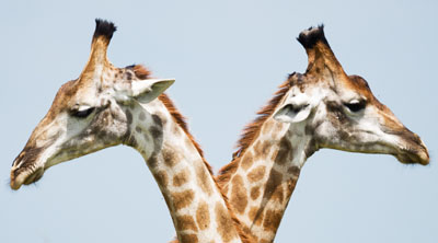 Two giraffees looking in the opposite direction