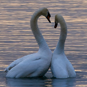 Two swans with necks making a heart