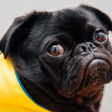 Black pug in yellow wrap