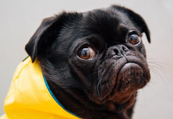 Black pug in yellow wrap
