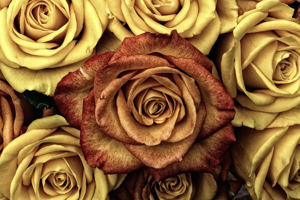 Yellow roses in background with rust colored rose on top